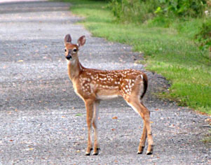 A White Tail Deer Fawn on Hoodlebug Trail