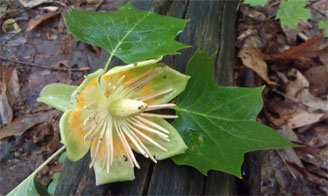 A beautiful tulip poplar!