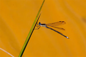 A Great Spreadwing at Waterworks